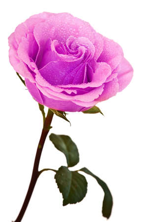 purple roses: purple-pink rose isolated on a white background Stock Photo