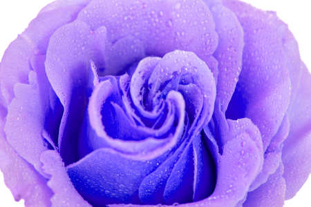 purple rose isolated on a white background photo