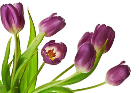 white tulip: Purple Spring Tulips Isolated on a Pure White Background