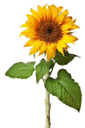 Sonnenblume, die auf einem reinen wei�en Hintergrund isoliert  Lizenzfreie Bilder