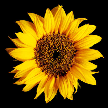 sunflower isolated: sunflower isolated on a pure black background