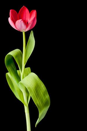 Rosa Tulip, die auf einem schwarzen Hintergrund isoliert  Lizenzfreie Bilder