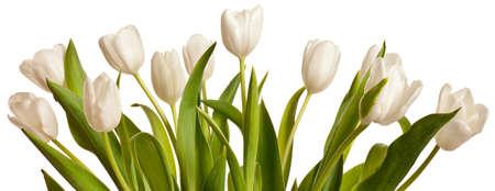 Fr�hjahr Tulpen Blume isoliert auf wei�em Hintergrund