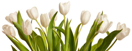 spring tulips flower isolated on white background Stock Photo