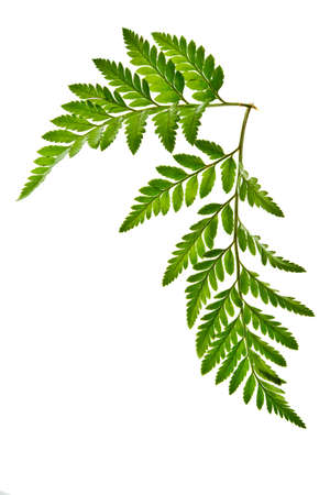 ferns: green leaf isolated on a white background Stock Photo