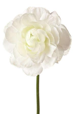 ranunculus: White Ranunculus Isolated on a White Background Stock Photo