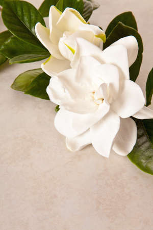 White Gardenia Blossom on Marble Background photo