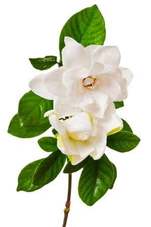 gardenia: White Gardenia Blossom