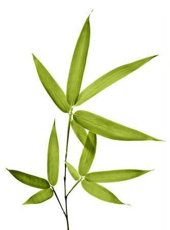 feuille de bambou: Bambou isol� sur fond blanc
