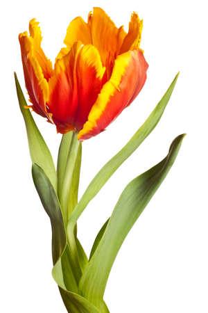 voorjaar tulpen bloeien geïsoleerd op witte achtergrond