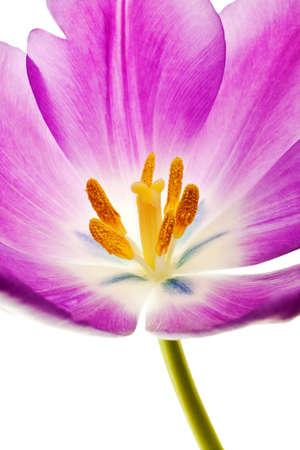purple tulip isolated on white background Stock Photo