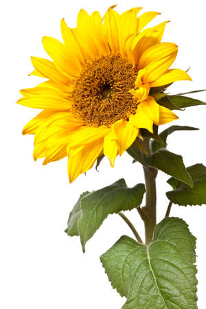 zonne bloem geïsoleerd op een zuivere witte achtergrond  Stockfoto