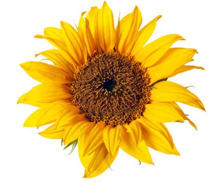 Sonnenblume auf einem reinen wei�en Hintergrund isoliert Lizenzfreie Bilder