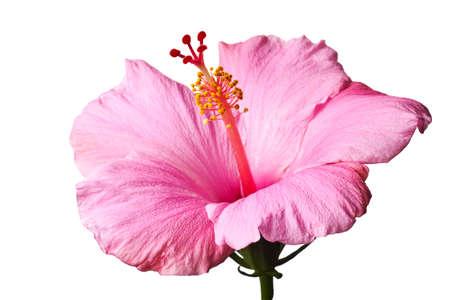 hibisco: Hibiscus Rosa aislados sobre fondo blanco. Limpiar puro blanco gris de fondo-no!  Foto de archivo