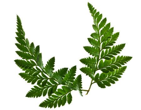 green leaf isolated on a white background Reklamní fotografie