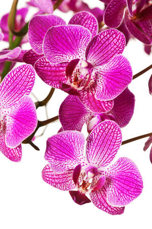 Purple Striped Dendrobium Orchid Blossoms