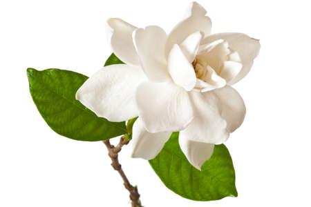 White Gardenia-Blossom, isolierte