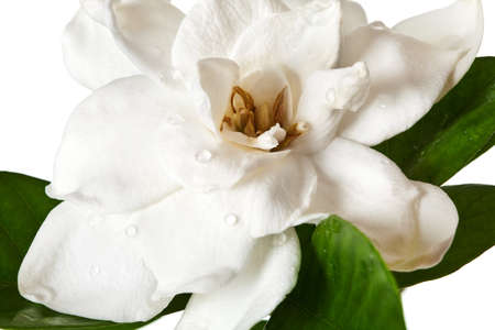 gardenia: White Gardenia Blossom Isolated