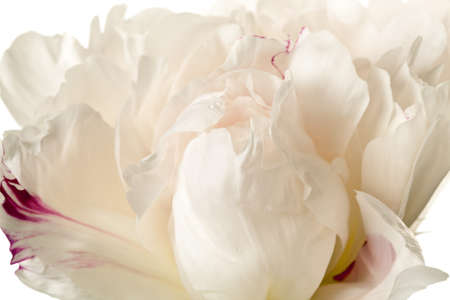 Peony Blossom isolated on a white background Banco de Imagens - 7963083