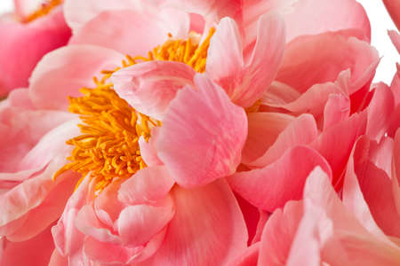 Peony Blossom isolated on a white background Banco de Imagens - 7963132