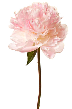 Peony Blossom isolated on a white background Stock Photo