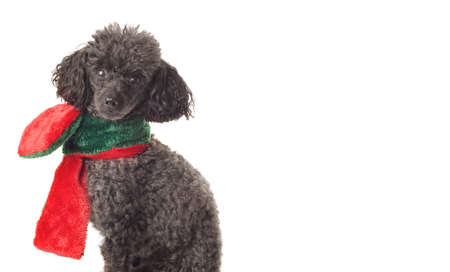 black toy poodle with red and green scarf isolated on white photo
