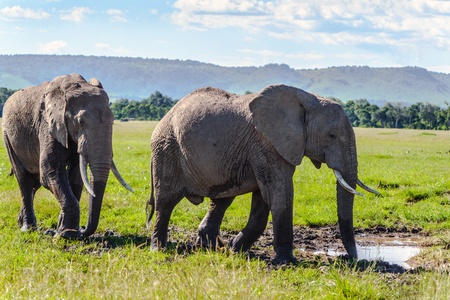 pair of African elephant in savanna