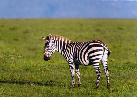 Herd of Plains Zebra  Equus quagga  in Kenya photo