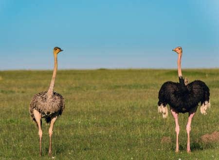 Ostriches in the masai marai National Park, kenya photo