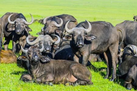 african buffalo masai mara Park, kenya Foto de archivo