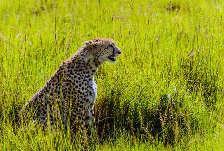 Cheetah sitting in grass in Masai Mara national park