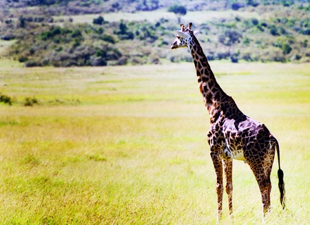 giraffe in Kenya photo