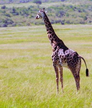 giraffa camelopardalis: giraffe in Kenya