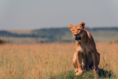 A lioness basking in the early morning sun in Kenya