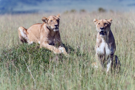 two lionesses in the African savanna Stock Photo - 17566019