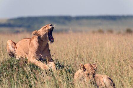 two lionesses in the African savanna Foto de archivo