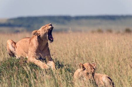 two lionesses in the African savanna Stok Fotoğraf