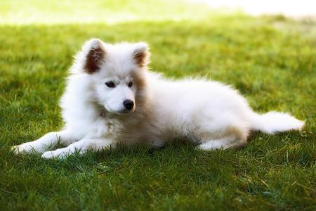 Llittle Samoyed puppy portrait in the garden Stock Photo