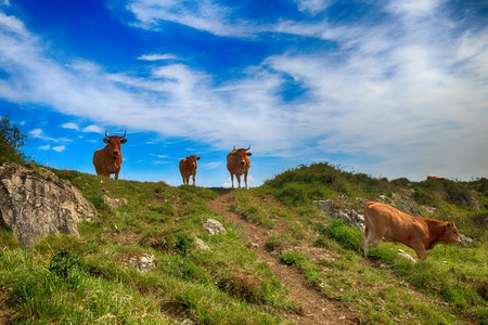Rural mountain landscape with cows herd