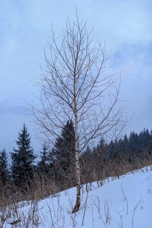 hornbeam: hornbeam on mountain top Stock Photo