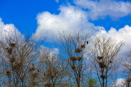 flocking: Many nests of a colony of rooks or crows in grove Stock Photo