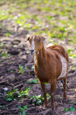 brown goat: brown goat grazing alone at the farm yard