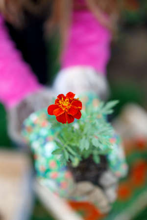 patula: Tagetes flowers Erebta et Patula held in hands Stock Photo