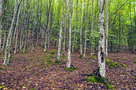 hornbeam: a beautiful hornbeam forest in the mountains of Romania Stock Photo