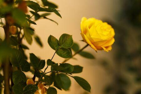 yellow roses: Tiempo de primavera de las rosas amarillas