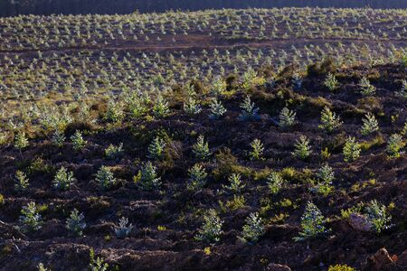 eucalyptus trees: Young plantation of blue gum trees Eucalyptus sp in Portugal