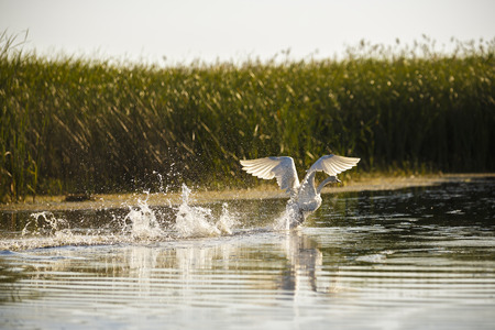 cygnet: Cygnus olor in the natural environment, the Danube Delta, Romania