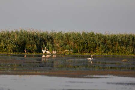 pelecanus: Pelecanus onocrotalus the natural environment, the Danube Delta Romania