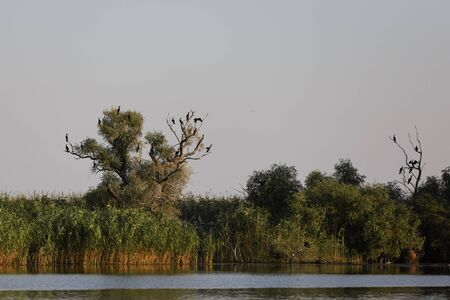 Phalacrocorax carbo in the natural environment, the Danube Delta Romania Stock Photo