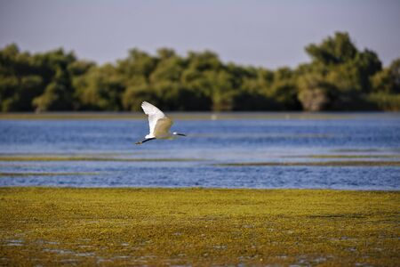 danube delta: white egret in natural environment, the Danube Delta romania